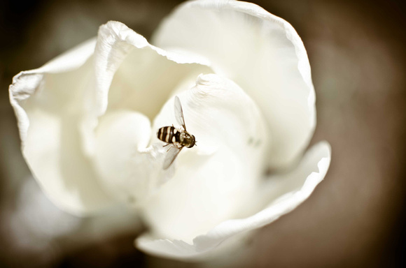 Limited Edition -White Tulip with Bee  *selling only 20 copies